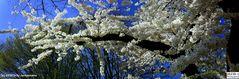 Der Baum blüht