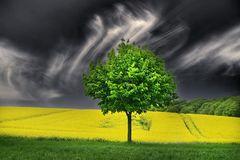 der Baum im Rapsfeld