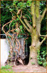 der Baum und seine Luftwurzeln