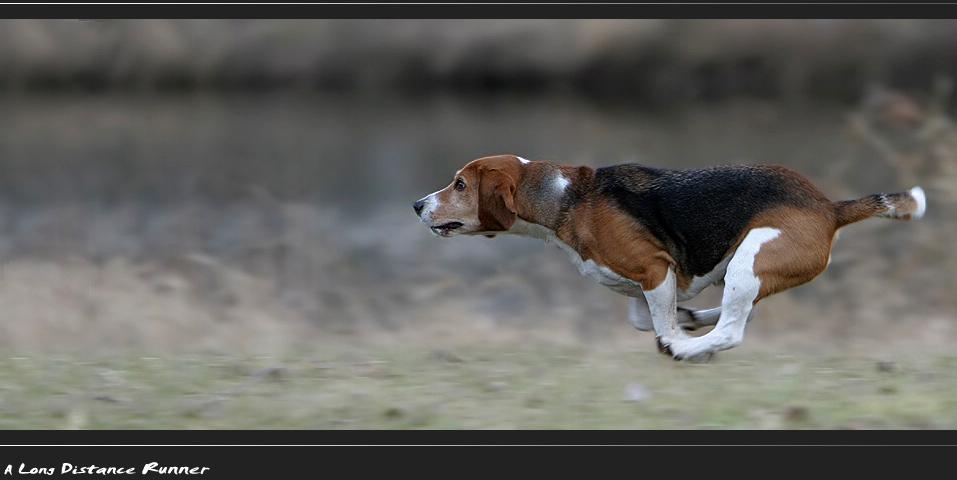 Der Beagle ...