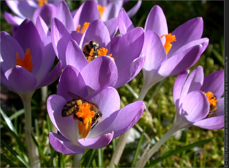 Der Bienenmagnet Elfenkrokus (Crocus tommasinianus)