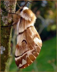 Der Birkenspinner