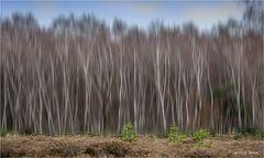 Der Birkenwald......