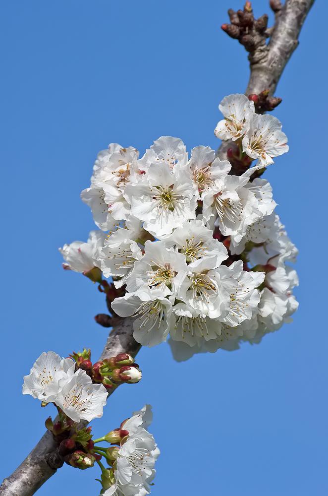 Birnbaum Pflanzen Zeitpunkt. Birnbaum Als Hochstamm
