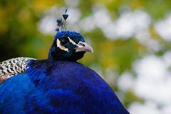 Der blaue Guller ....