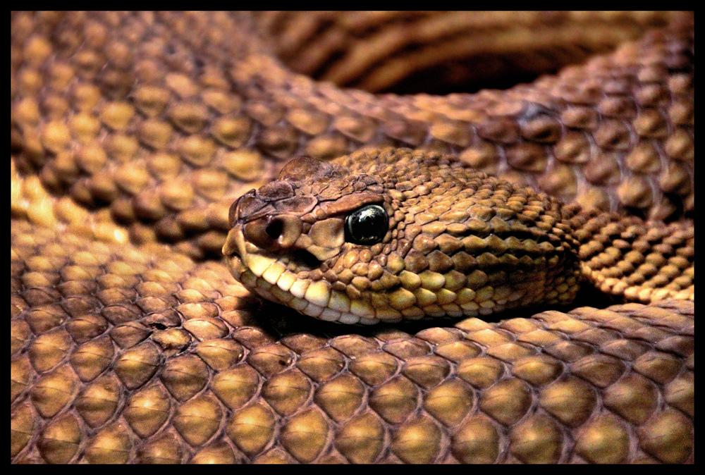 Der Blick der Klapperschlange