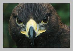 Der Blick des Adlers