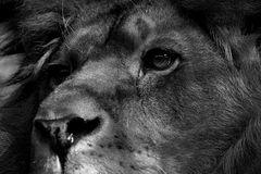 Der Blick des Löwen