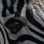 Der Blick.....des Zebras