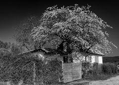 Der blühende Kirschbaum