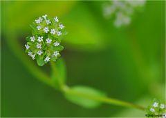 Der Blütenstand vom Feldsalat