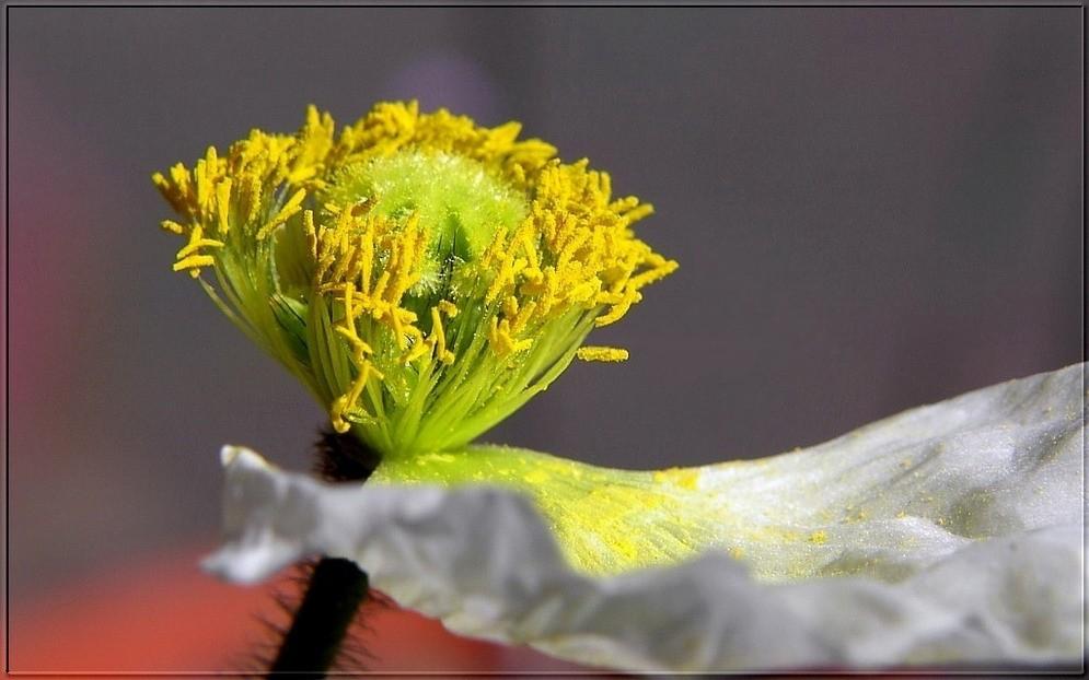 Der Blütenstaubfänger