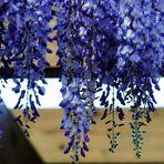 der Blütenvorhang
