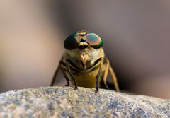 Der blutrünstige Grobian unter den Insekten