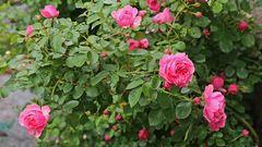 Der böige Wind verhinderte ein kleine Blende bei den Rosen...