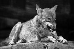 Der böse, böse Wolf