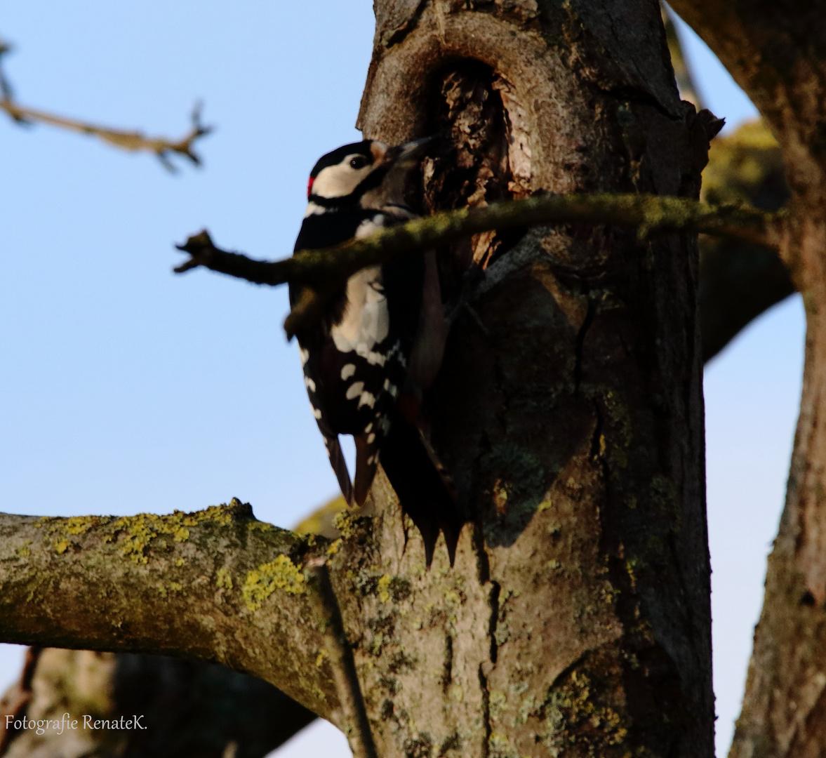 Der Buntspecht