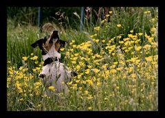 der Butterblumenhund
