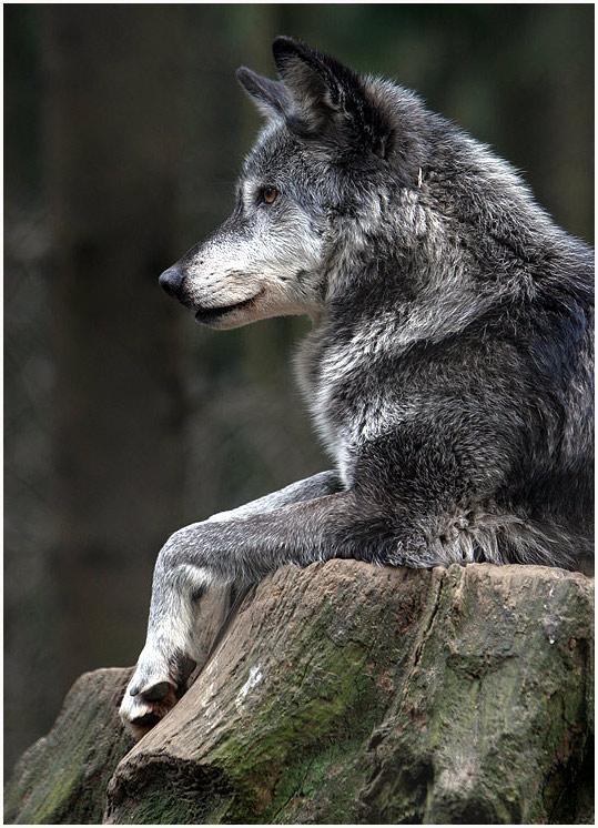 Der Chef der Timberwölfe))