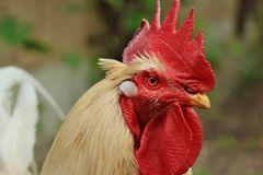 Der Chef im Hühnergarten