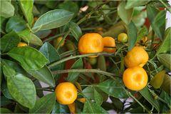 Der Citrus steht heute wieder auf dem Balkon
