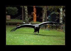 Der Condor, der nicht fliegen will...