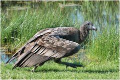 der Condor schleicht sich davon