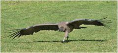 der Condor startet doch noch