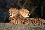~ Der doppelköpfige Gepard ~