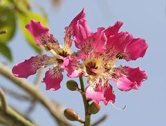 der Dornenbaum blüht