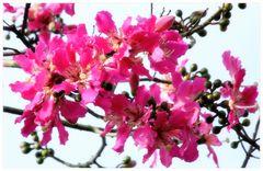 der Dornenbaum.....(Bauhinia blankeana?)