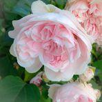 der Duft dieser Rosen möge bis zu Eurem Herzen vor dringen