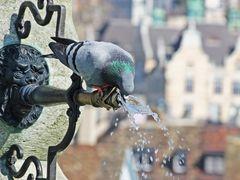 Der Durst der Taube...