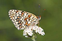 Der edle Flockenblumen-Scheckenfalter (Melitaea phoebe) - Le Grand Damier.