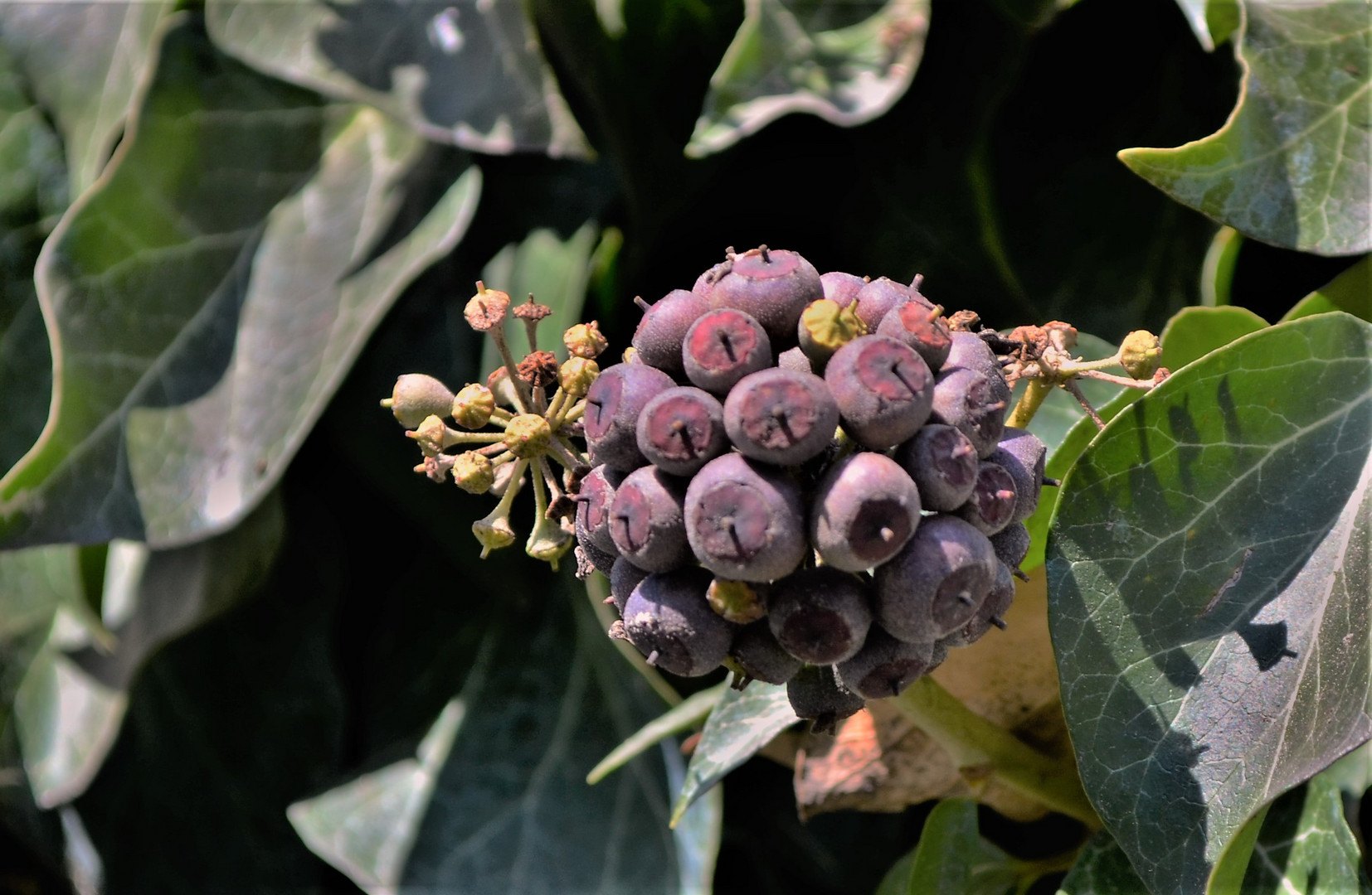 Der Efeu trägt massenhaft Früchte..............