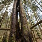 Der Eibenwald -Paterzell