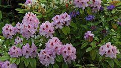 Der Eindringling im Rhododendron...