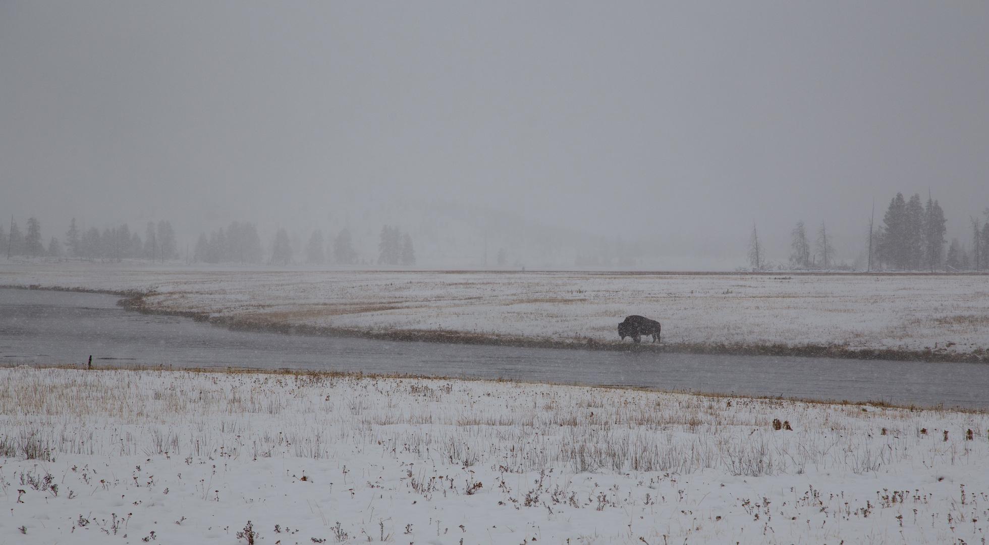 Der einsame Büffel