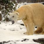 Der Eisbär [15] ...
