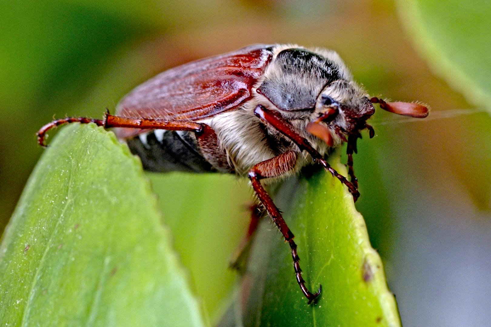 Der Ende Mai Käfer
