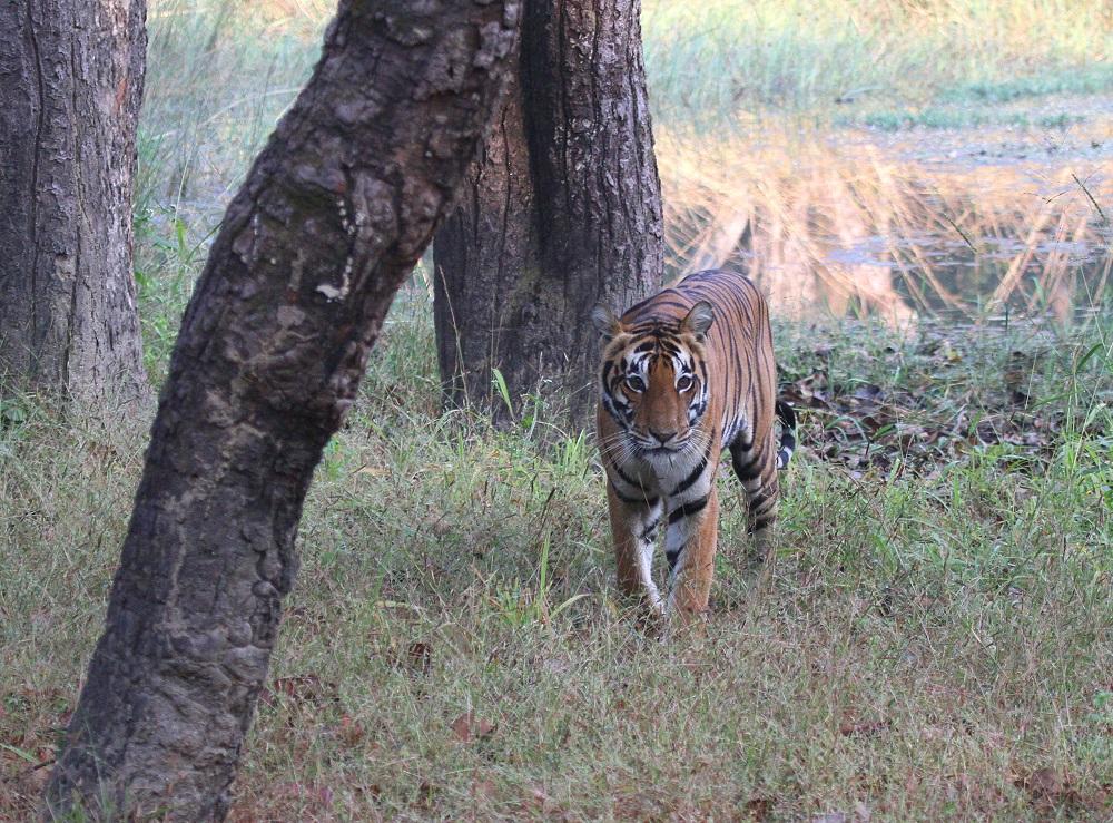 Der erste Kontakt - Tigerin im Kanha N.P. - Madhya Prades - Indien