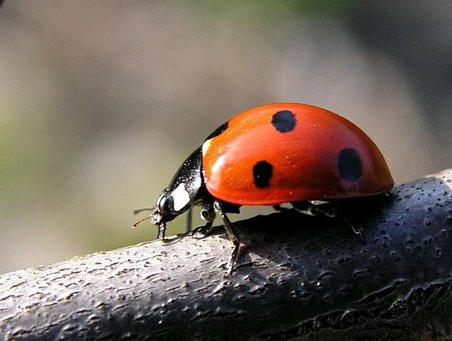 der erste Marienkäfer ...
