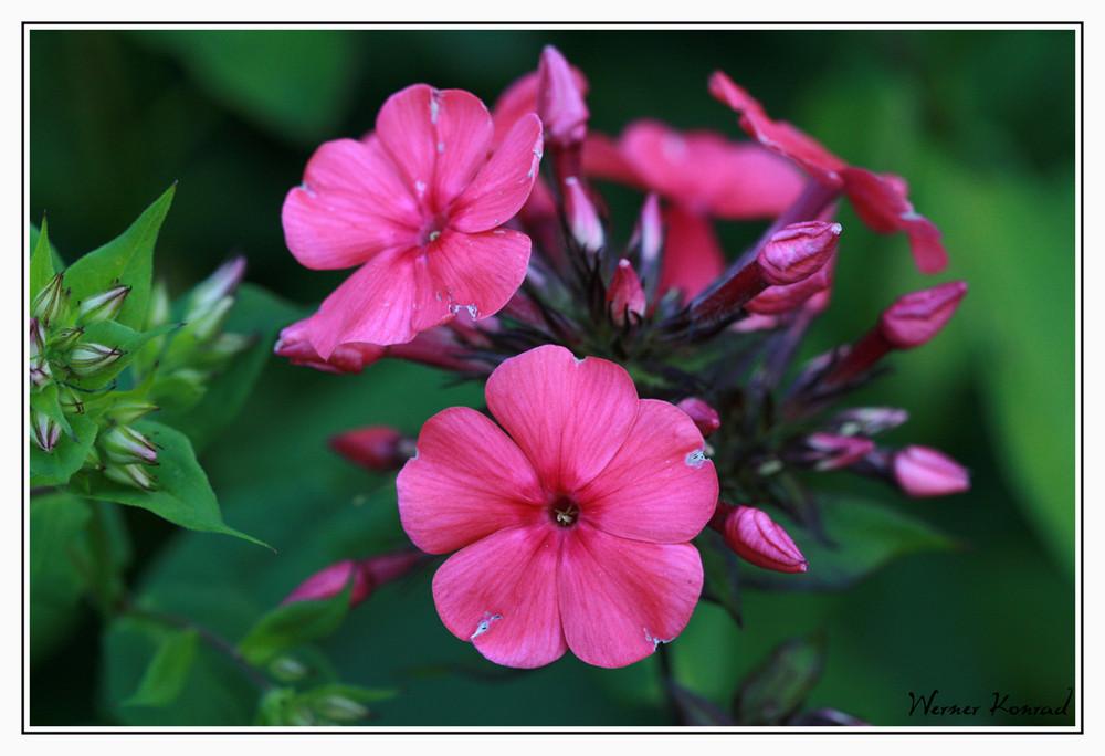 Der erste Phlox blüht im Garten