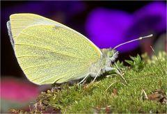 Der erste Schmetterling ..