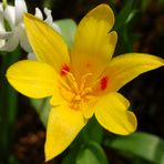 der erste tulpengruß