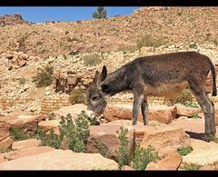 der Esel von Petra
