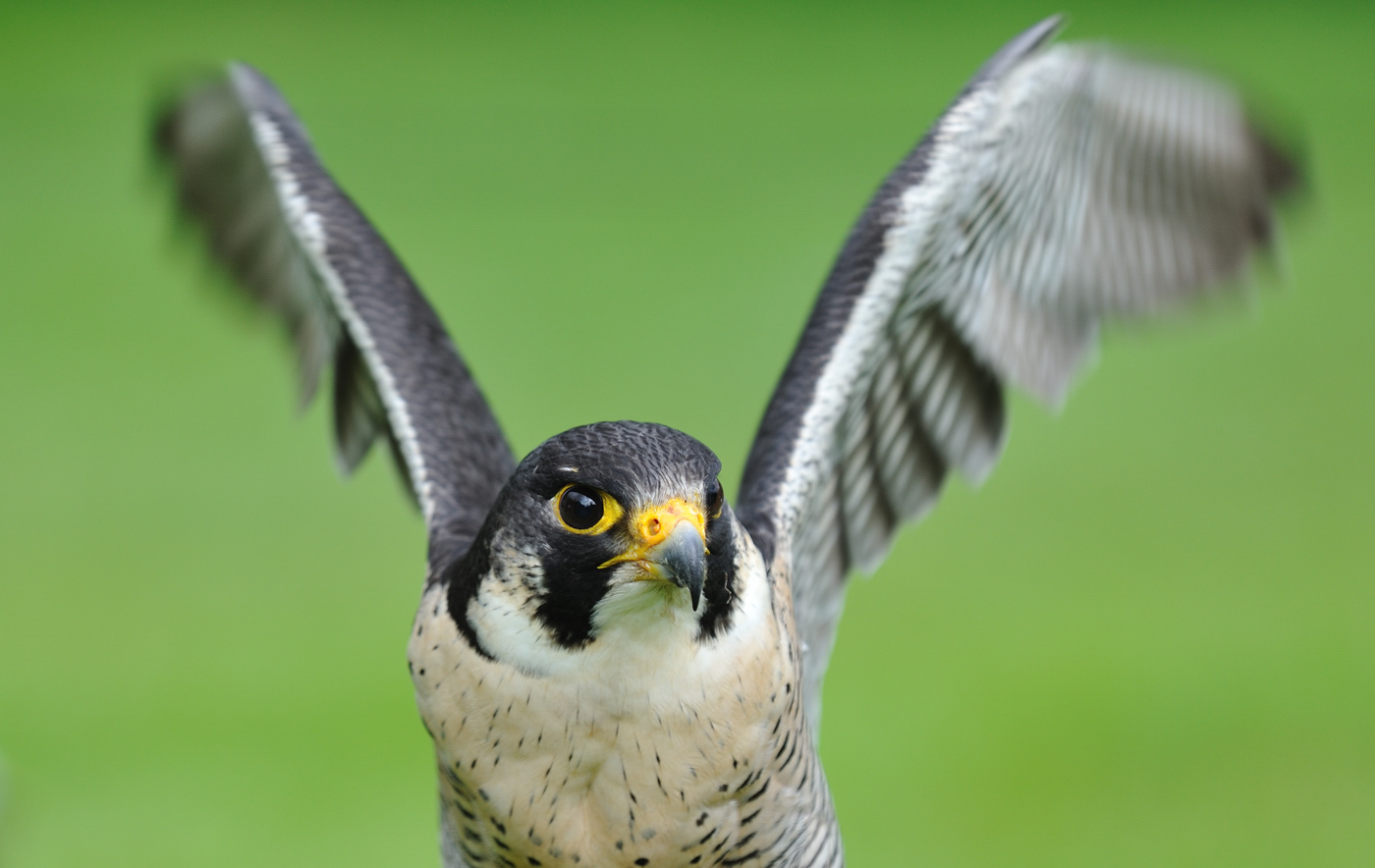 Der Falke...