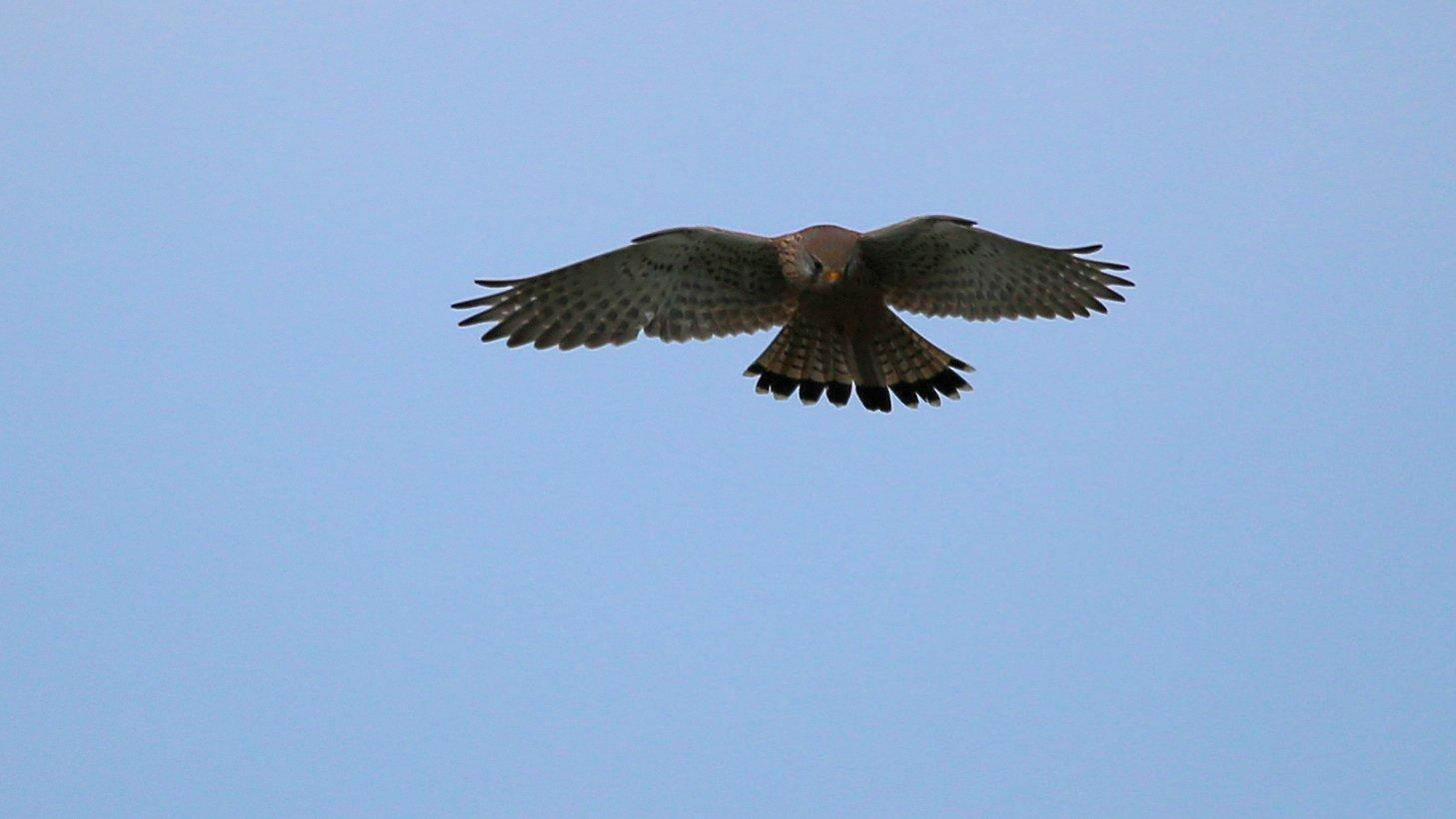 Der Falke war der erste der sich..