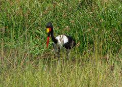 Der farbenfreudige Sattelstorch (Ephippiorhynchus senegalensis)