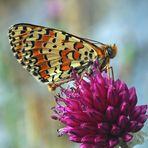 Der farbenfrohe Rote Scheckenfalter (Melitaea didyma) *